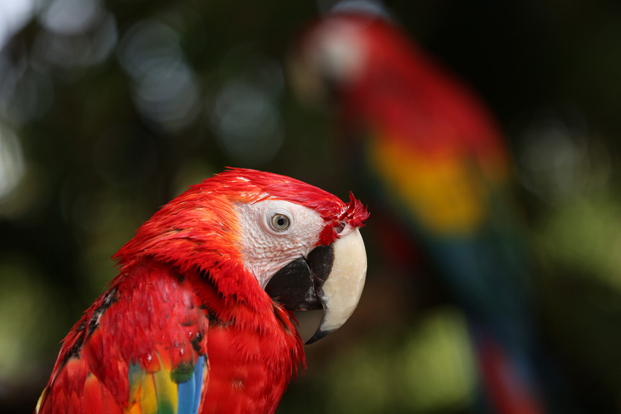 Culture and Wildlife in the Mayan Riviera - Red parrot