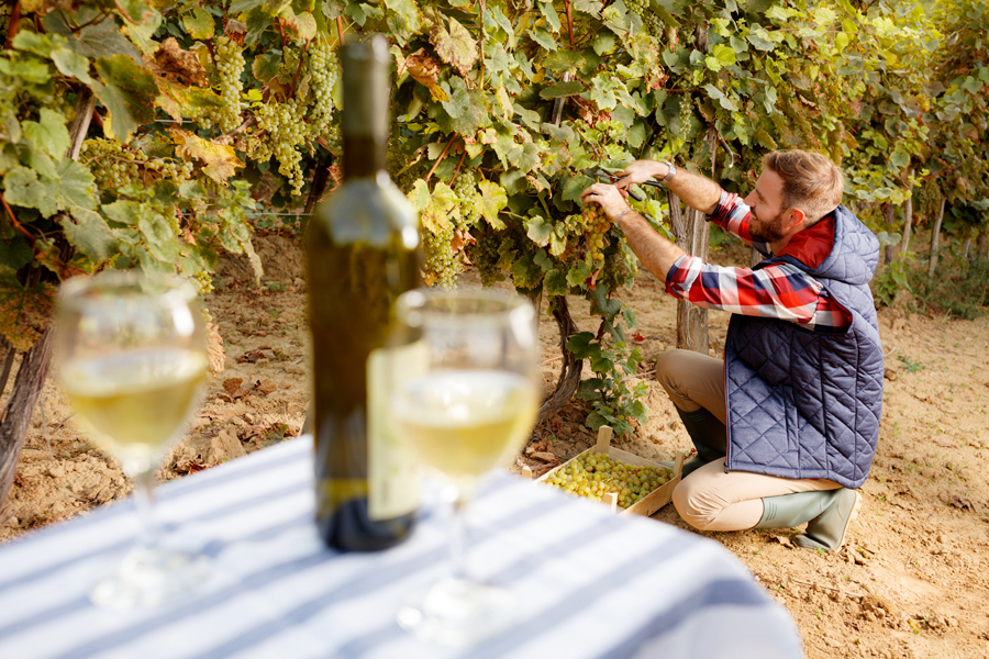 Food and Wine in Napa Valley - Wine in the table and a man picking grapes in wineyard