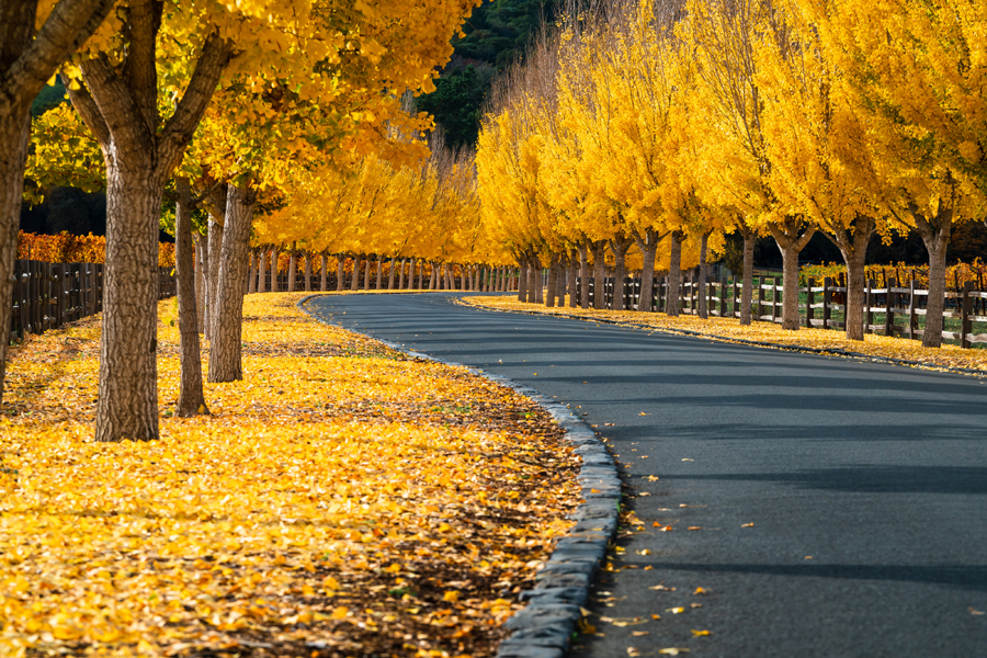 Food and Wine in Napa Valley - Yellow treen in autumn
