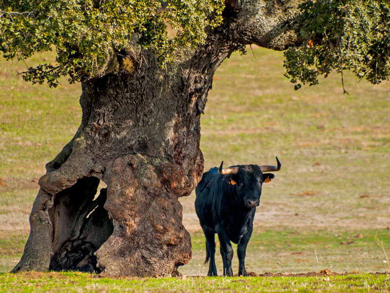 Bull and a tree, Spain