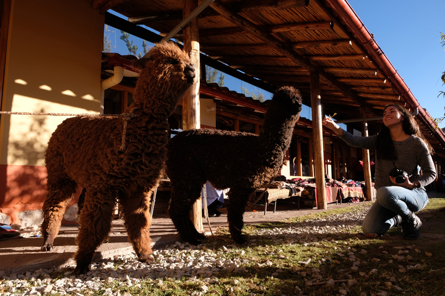 Splendors of the Inca Corporate Expedition - Two llamas