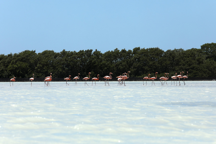 The Yucatan Peninsula land of the Maya flamingos in water