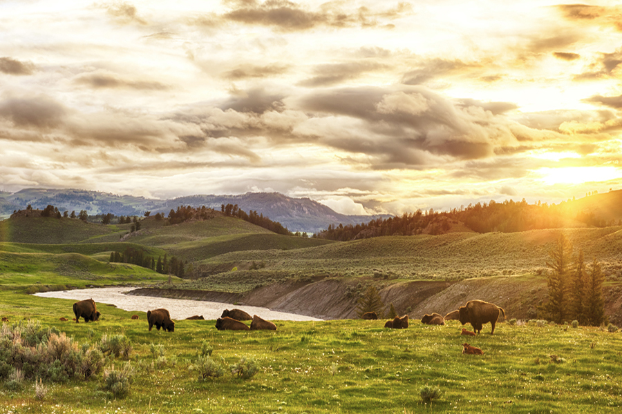 Yellowstone and the Grand Teton National Parks - Bisontes in a green valley and a sunset