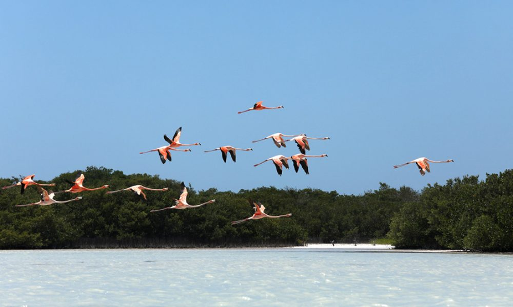 Flying pink flamingos at Yucatan